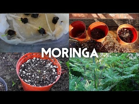 Moringa Oleifera from seed to tree - The complete guide to g