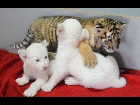 Милые животные милые детёныши   играют с человеком,  дикие животные