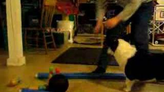 Riley the Cardigan Corgi goes Bowling...What a trick dog!