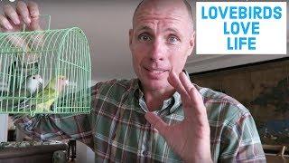 Should you buy lovebirds?
