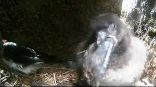 Puffin Chick Eating a Butterfish