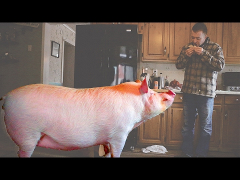 "This Couple Accidentally Adopted A 650lb ""Mini Pig"""