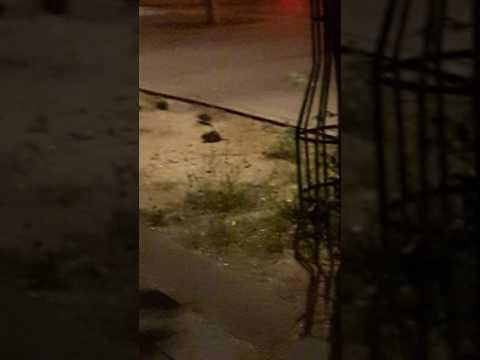 Rats en promenade avenue Hoche Paris 08