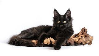 видео Самые большие домашние кошки: происхождение и описание пород