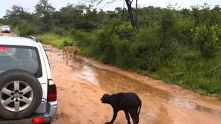 Mom saves baby buffalo from lion at Private Game Reserve fenced into Kruger