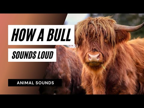 How A Bull Roaring And Snorting - Sound Effect - Animation