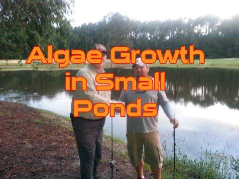 Algae Growth in Small Ponds