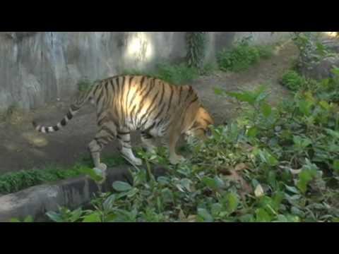 アムールトラ 天王寺動物園 Amur Tiger Tennoji Zoo Osaka Japan