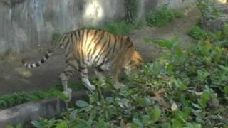 They were born at other zoos in Japan. 大阪・天王寺動物園にいるア...