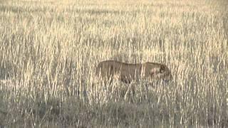 Voyage en Namibie : Lionne Parc National d'Etosha | Meltour