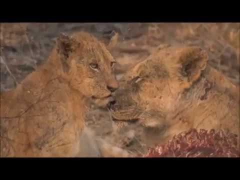 Safari Live : The Styx Pride on a Waterbuck kill this afternoon at Chitwa Sept 17, 2017