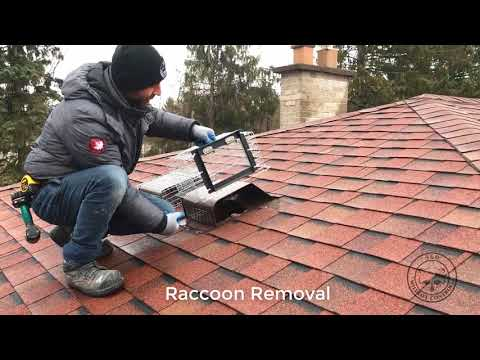 Remove Raccoons Like a Pro! | 360 Wildlife Control