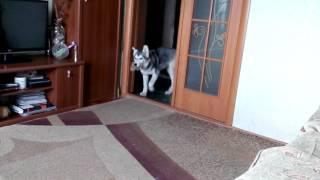 Хаски Арчи-маленький охранник.