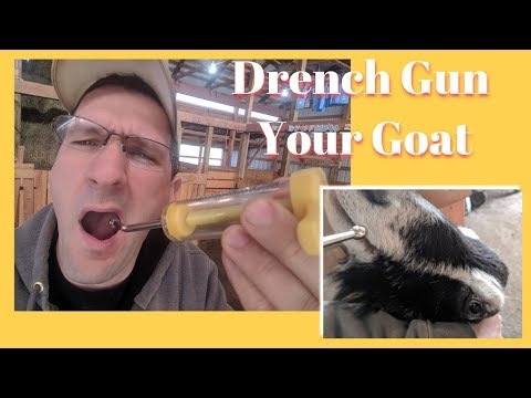 How To Drench Medications To A Goat - 2018