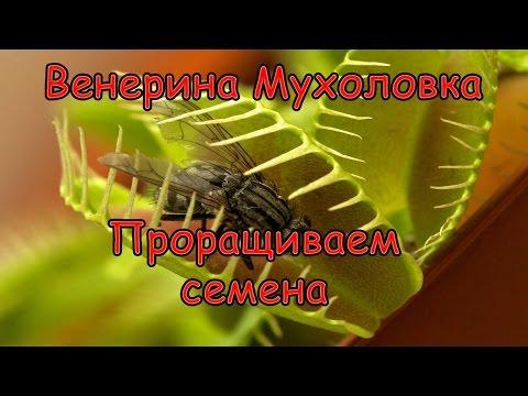 Как Вырастить Венерину Мухоловку (Дионея) из семян