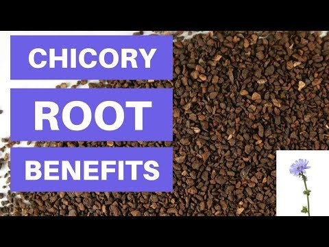 Chicory Root Benefits And Side Effects Is Chicory Root Fiber Good For You?
