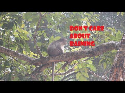 No Problem With Raining | Natural Life Monkey |