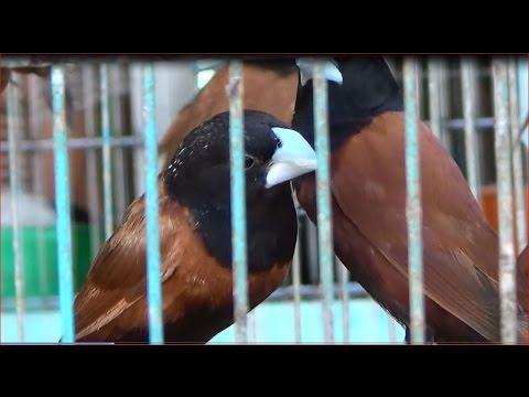asian songbird