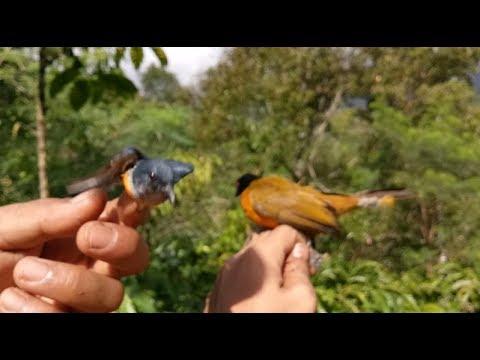 Hanya menggunakan suara ini semua jenis burung liar datang semua