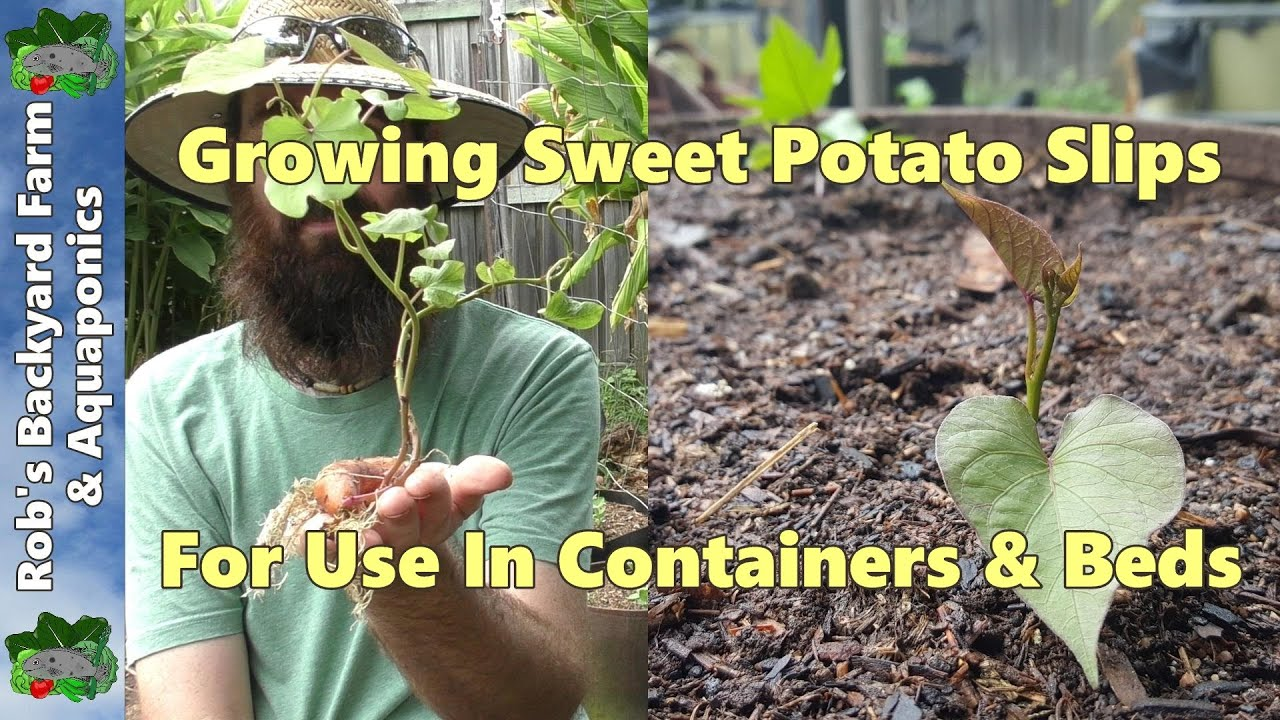 How To Grow Plant Sweet Potato Slips In Containers Beds Youtube