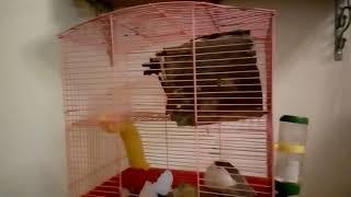 Моя крыса Фея породы дамбо
