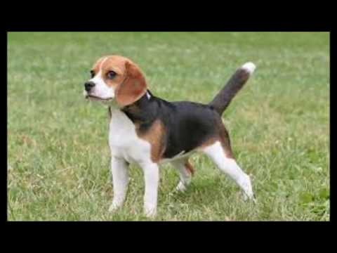 beagle , interesting facts you should know