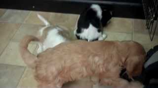 Cava-tzus And Cavachons Playing At Little Paws