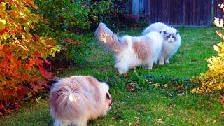Ragdoll Cats and Kittens Running, Jumping, CrabPuffing, Having Fun Outdoors & Free!