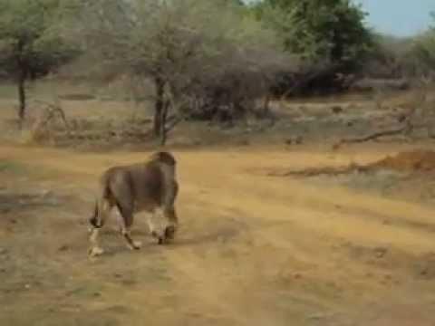 Lion Safari Tour @ Gir Forest Gujarat