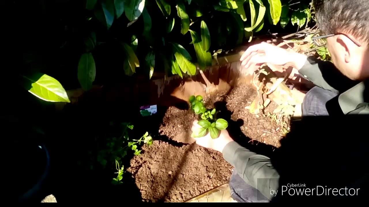 Comment Planter Du Basilic comment planter du basilic? - youtube