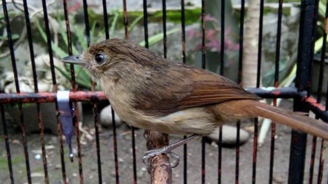 Cara Memancing Burung Flamboyan Yang Malaes Bunyi Agar Racin Gacor Dan Ngplong Youtube