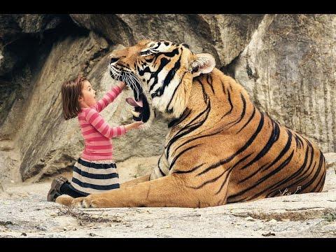 Big cat wild Lion vine and videos