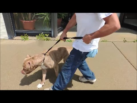 Stop Pit Bulls from Pulling - SafeCalm Dog Training Collar - BIG CHUCK MCBRIDE