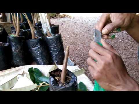 Cara Baru Sambung Bibit Durian 2 In 1( Varietas Montong Dan Canne)
