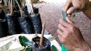 Video Cara baru sambung bibit durian 2 in 1( varietas Montong dan Canne) download MP3, 3GP, MP4, WEBM, AVI, FLV September 2018