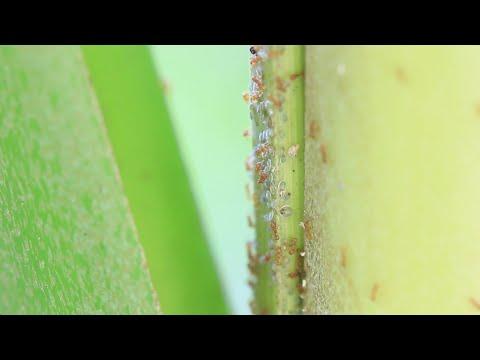 Fire! Little Fire Ants in Hawaii (2016)