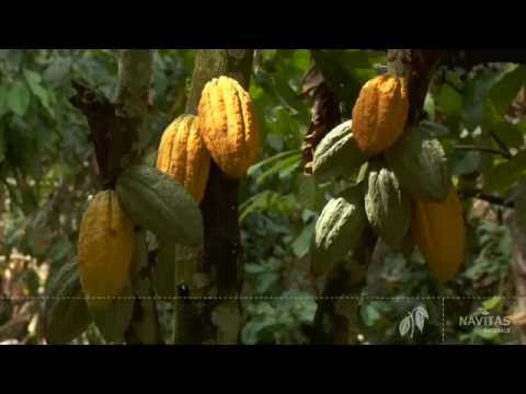 Cacao Organic growing and harvesting