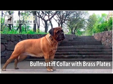 Big Dog Walking Video - Bullmastiff Wearing  Leather Dog Collar with Brass Plates