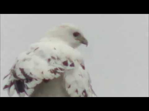 Red tailed Hawk aberrant LEUCISTIC plumage; by Lucio Fazio, Peel, Ont; Nov 2017