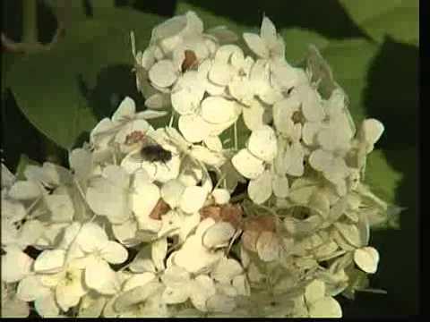 Выращиваем гортензии
