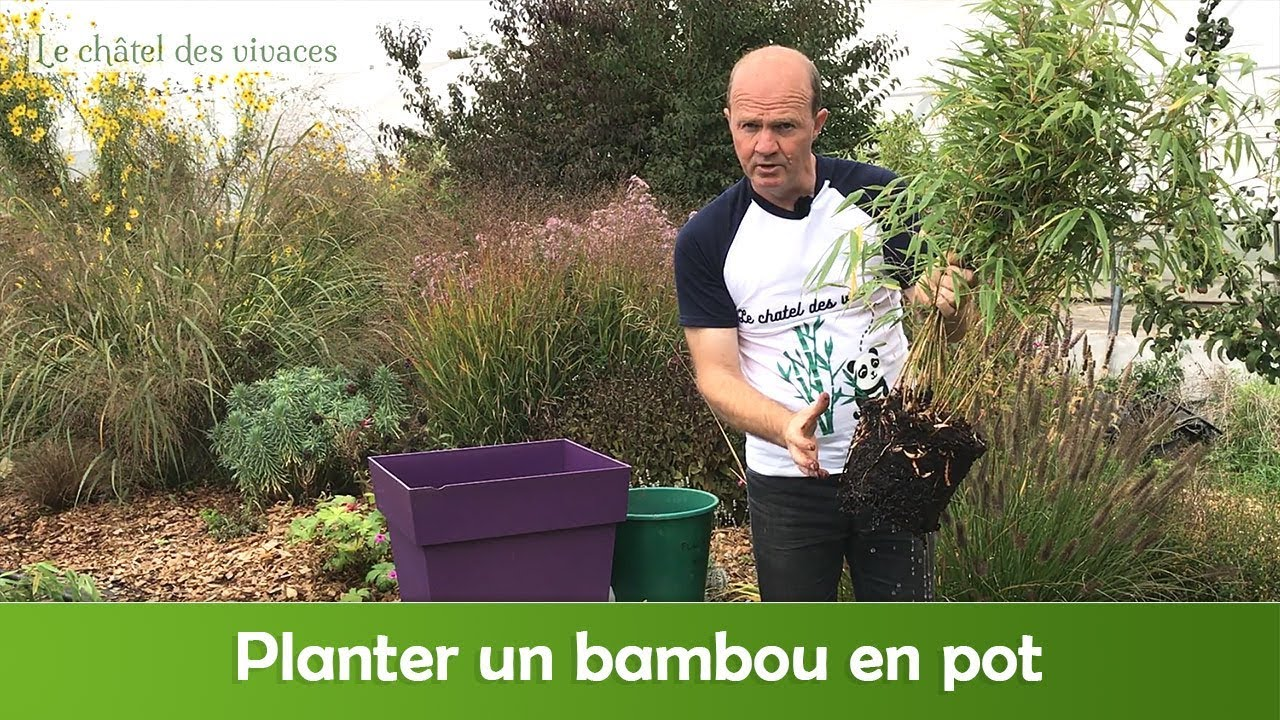 Bambou en bac beautiful la plantation du bambou en pot with bambou en bac le bambou il en - Comment planter du bambou ...