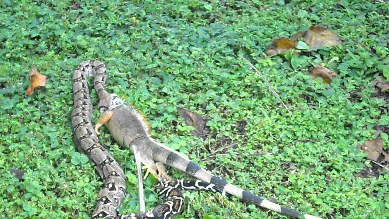 Boa Constrictor - Jardin Botanico la Laguna - 01.AVI - YouTube