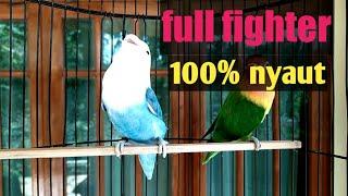 Pancingan lovebird fighter ngetik NGEKEK paling gampang bikin lawan bunyi.agaporni cantando