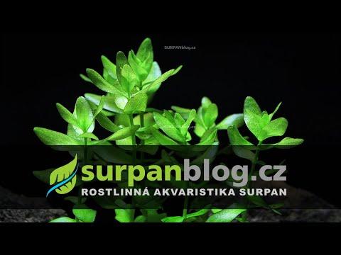 Bacopa caroliniana - Bakuma karolínská - aquarium plant (fullHD)