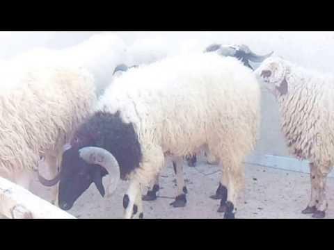 خروف عيد الاضحى ليبيا سامى Youtube