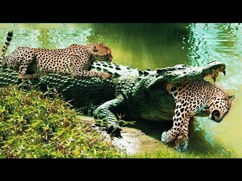 Дикая природа, ягуар против крокодила. Битва животных. Версус Баттл хищники.