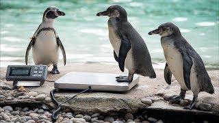 В Лондонском зоопарке проходит тотальное измерение животных(новости)