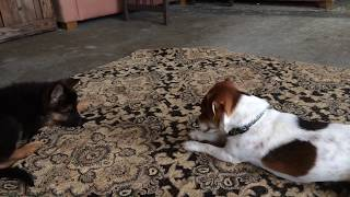 German Shepherd Puppy Playing With Jack Russell Terrier