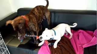 Milly Boxer Cross P.a.w.s Rescue Dog And Lexi Sbt Have A Tug Of War.