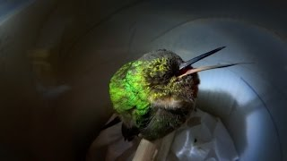 Snoring hummingbird - Super Cute Animals - BBC
